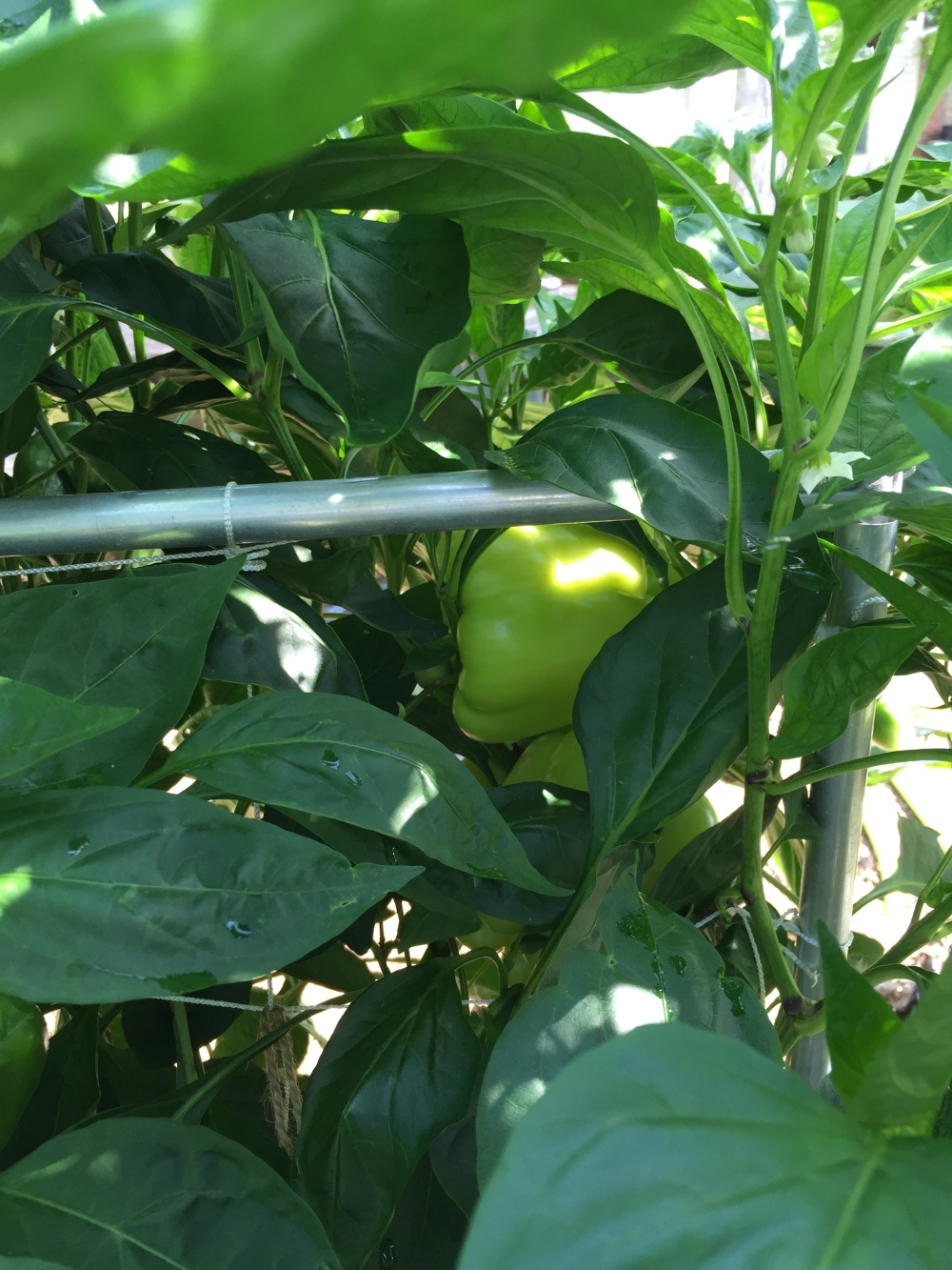 Immature Bell Pepper