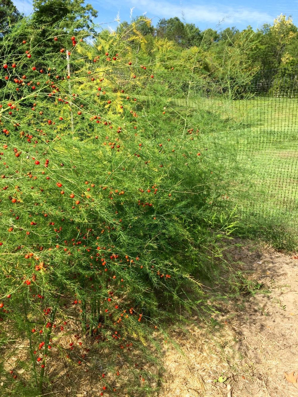 Asparagus berries.jpg